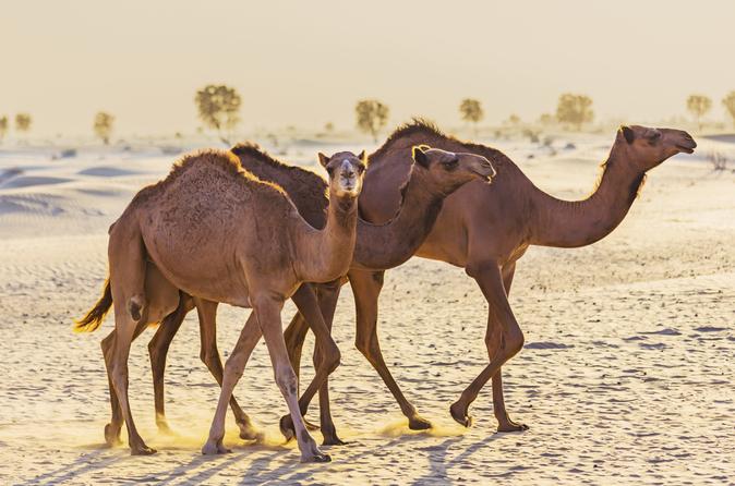 Ochtendtour door de woestijn per 4x4: kameelrit, quadtour en zandsurfen